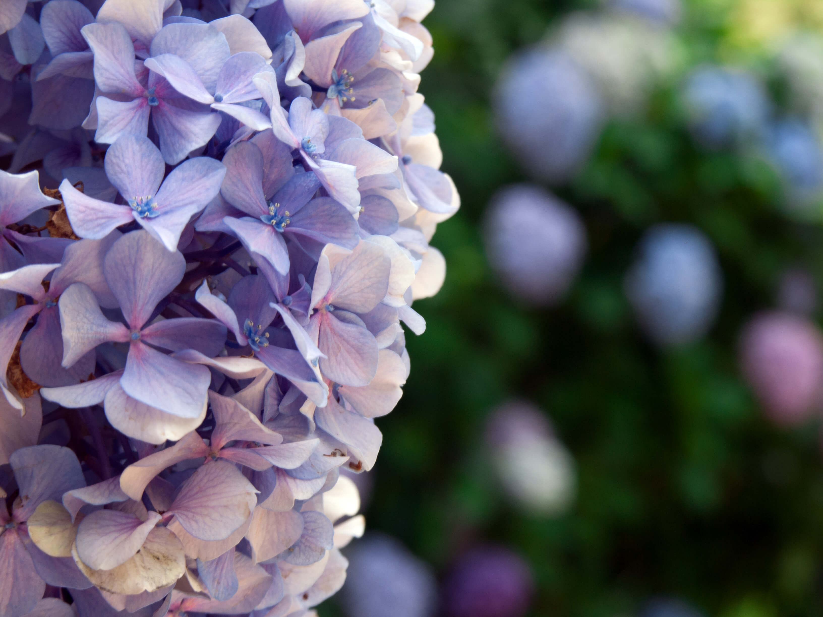 Picture of an Hydrangea